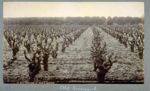Goblet-trained vines in Southern California.